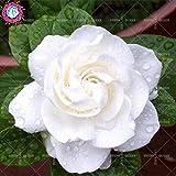 11.11 Grande promozione! 100 pc dividono i semi / Gardenia fiori colorati di semi di bonsai in vaso in giardino e casa pianta perenne semi di piante 1