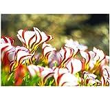 Coorun Oxalis versicolor Samen seed 100 Stücke/Paket Welt Seltene Blumen für Garten zu Hause die Blumen pflanzen