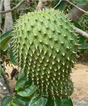 Pets Delite® 25 Giant Soursop SeedsRareExotic Annona Muricata, Graviola, Guanabana von Giant Sitzsack Sthle