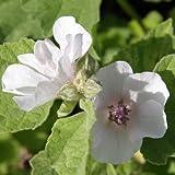 lichtnelke - Echter Eibisch / Althaea officinalis