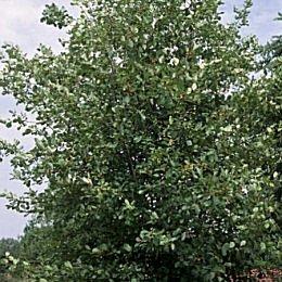 Faulbaum ** Rhamnus frangula ** (10 Stück Faulbaum Str. l. 2Tr. 70-90 cm )