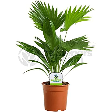 Livistona - 1 Plant - House / Office Live Indoor Pot Potted Fan Palm Tree In 15cm Pot