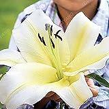 200pcs Lily Samen Lilien-Blume Nicht -Lilienknollen Lilium Blumensamen Faint Duft Bonsai Topfpflanze für DIY Hausgarten-Anlagen Weiß