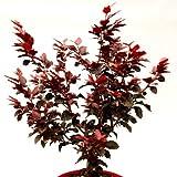 Zwerg-Blutbuche 'Purpurea Nana' Topfgröße wählbar [30-40 cm]