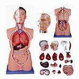 Produkt-Bild: Anatomie Modell Menschlicher Torso Männlich