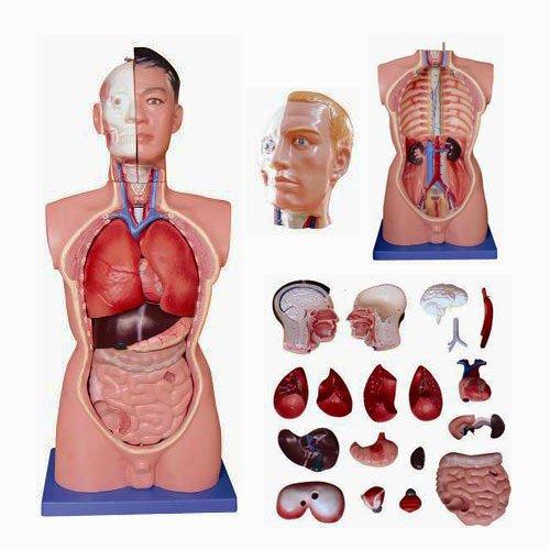 anatomie-modell-menschlicher-torso-mannlich