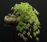 Portal Cool Japanische Ivy! Schnell wachsende Kletterpflanze! Auch groß wie ein Bonsai! Hardy, frische Samen