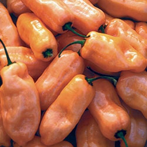 Habanero Orange, Super-Scharf für echte Chili Fans, 10 Samen,von unserer ungarischen Farm samenfest, nur organische Dünger, KEINE Pesztizide