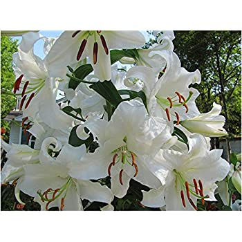 6 Casa Blanca Oriental Lily Bulbs White Trumpet-Shaped Highly Fragrant Perennial GARTHWAITE NURSERIES/®