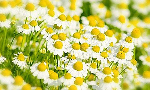 portal cool semi tedeschi di camomilla 101, fiori abbastanza bianchi e tÚ calmante ez da coltivare