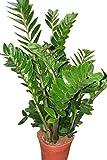 Plante d'intérieur - Plante pour la maison ou le bureau - Zamioculcas zamiifolia, hauteur environ 70cm - Également surnommée «Plante ZZ»