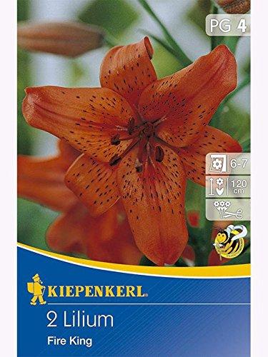 Lilien Lilium Tigerlilien Fire King rot mit Tupfen