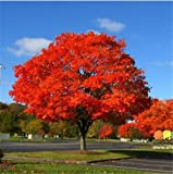 #3: North American Maple Tree Seeds Sold By- Vasuworld
