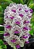 Green Seeds Co. Verpackung 100 stücke Orchidee pflanzen seltene und mini Phalaenopsis Blume pflanzen Für Hausgarten Dekoration Zimmerpflanzen Blumen Sementes: dunkelgrau
