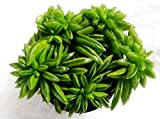 #10: K S Trading Live Succulent Plant Peperomia Evergreen
