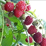 AGROBITS 50PCS Pure Frutti rossi lamponi organico antiossidanti