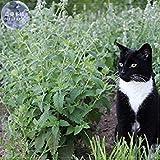 Visa Store 2018 Heißer Verkauf Davitu Heirloom Katzenminze - Pflanze Katzenminze Samen, Professional Pack, 20 Samen, Mehrjährige Kraut für Katze, Auch als Geschmack E4223