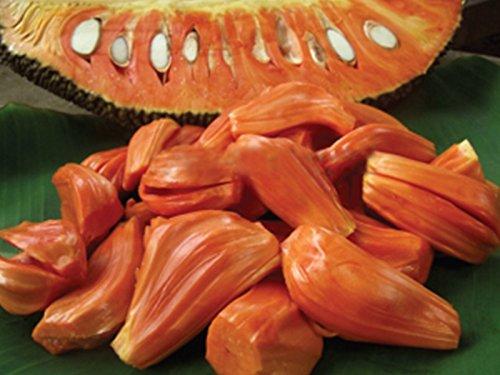 "M-Tech Gardens Rare Red Flesh Jack fruit"" DANG SURIYA THAILAND"" Super Tasty Grafted Jackfruit 1 Live Plant"