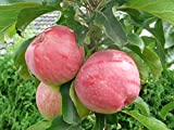 """Säulenapfel """"ULDIS"""", Apfelbaum 2 jährig ca.100/140 cm. im Container.Säulen Spätsommer Äpfel"""