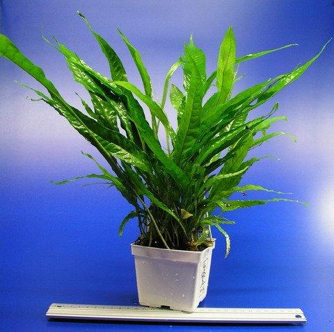 WFW wasserflora MUTTERPFLANZE Javafarn/Microsorum pteropus