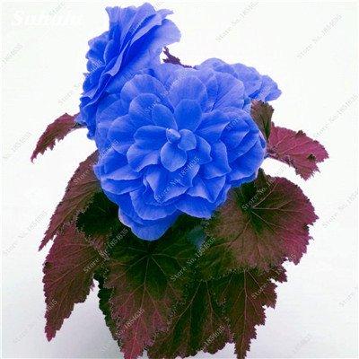 Nouveau! 150 Pcs Begonia Graines Bonsai Graines de fleurs Bonsai Maison & Jardin Flor Plantes en pot Purifier l'Office Air Bureau Fleurs 7