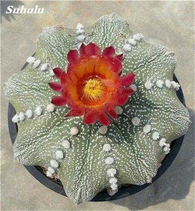 200 Pcs Mini Cactus charnus Graines protection contre les radiations japonaises importées Succulentes Graines Cactus Bonsai Pot plante semences pour le jardin 11