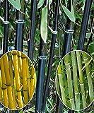 Risitar Graines - Chine 10/20pcs bambous (vert, jaune, rouge), Arbres et arbustes Grainé fleur jardin Plantes vivaces résistante au froid les jardins, en haie, en isolé ou en massif