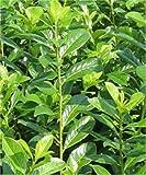 Kirschlorbeer Novita 125-150cm - Prunus laurocerasus