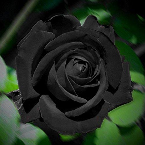 Rosen Samen, SummerRio Blumensamen Blumen Saatgut Seeds Regenbogen Rose Bunt Pflanze Garten Rarität Frisch Neuheit 100 stücke -