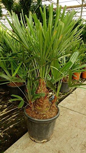 Rhapidophyllum hystrix - Nadelpalme - RARITÄT - extrem Frosthart - verschiedene Größen - PALLETTENVERSAND INNERHALB DEUTSCHLAND (130+cm - Stamm 15-25cm - Ø 40cm)