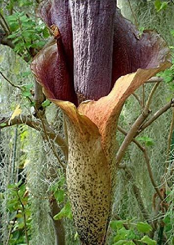 2x Amorphophallus konjac frische Samen Blumen Garten Zimmer Pflanze Neu B659