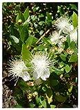 TROPICA - Mirto comune (Myrtus communis) - 30 Semi - mediterraneo