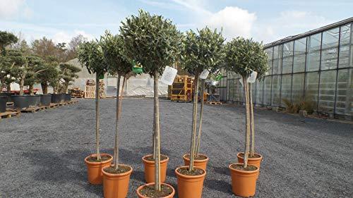 Olivenbaum Olive 140-150 cm Hochstamm, beste Qualität