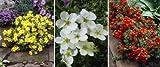 Fünffingerstrauch-Set. bestehend aus je 1 Pflanze gelb. rot und weiß blühend - zu dem Artikel bekommen Sie gratis ein Paar Handschuhe für die Gartenarbeit dazu