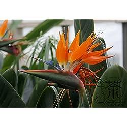 SVI 100Samen Home Garten Frangipani Plumeria Rubra Lei Ei Blumensamen SEMILLAS DE Flores