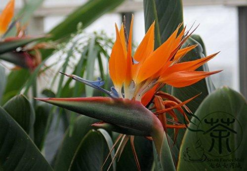 Très populaires exotiques Strelitzia Reginae Graines 60pcs, oiseau de Graines Paradise Strelitzia fleurs, graines Angiosperme Grue Fleur