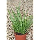 Planta de interior - Planta para la casa o la oficina - Aloe Vera - Pequeña