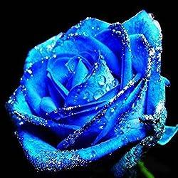 Murieo 50 Stück Rose Samen Rose Blume Pflanzen Garten Bonsai Mehrjährige Pflanzen Blumensamen (Blau)