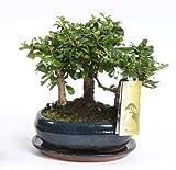 FloraStore - Bonsai Wald 16 cm Carmona (1x), Topf 16 CM, Zimmerpflanze