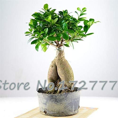 Shopmeeko 2016 50pcs Haute Qualité Ficus Microcarpa bonsaï Rare Plantes D'arbres Bonsaï Maison Et Jardin Sementes Plantes Semente À Vendre: Vert clair