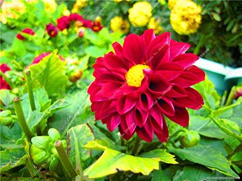 Double Dahlia Seed Mini Mary Fleurs Graines Bonsai Plante en pot bricolage jardin odorant Fleur, croissance naturelle de haute qualité 50 Pcs 12