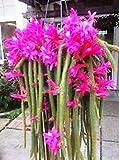 PLAT FIRM Semi di GERMINAZIONE: 6 (Schwer zu bekommen) Aporocactus flagelliformis Coda di Ratto Cactus Stecklinge !!!