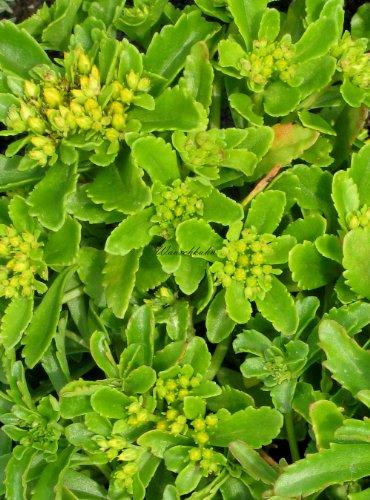 Staudenkulturen Wauschkuhn Sedum hybridum 'Immergrünchen' - Fetthenne - Staude im 9cm Topf