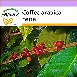 SAFLAX - Planta del café - 8 semillas - Coffea arabica nana