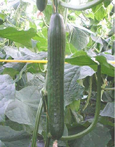 PLAT FIRM Germination Les graines: 25 - Graines: Hollande Hothouse F1 Concombre Seeds - 15\