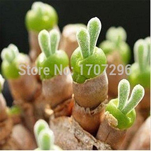 Graines Lithops Pseudotruncatella, oreilles de lapin de semences Fleur de pierre, plantes Bonsai pour la maison et le jardin - 30 pcs / lot