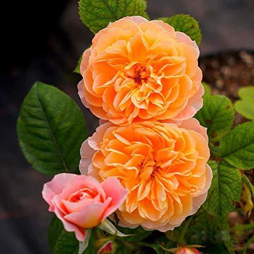 OBI Orange Dawn®