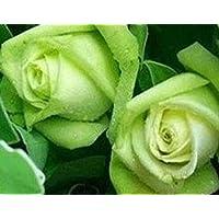 Plentree Semillas de Hielo Maiden Green Light Rose 80 Semillas -Buy 4 ArtãCulos