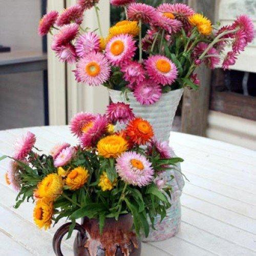 Pinkdose® Blumensamen: Helichrysam-Zwerg gemischte Samen für den ökologischen Landbau - Garten Blumensamen Pack von