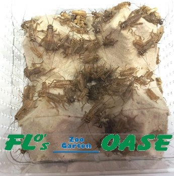Flos-Oase
